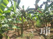 1 Acre Of Land And Banana Plantation For Sale In Kikyusa Luwero | Land & Plots For Sale for sale in Central Region, Luweero