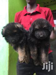 Germany Sheperd Puppies | Dogs & Puppies for sale in Central Region, Kampala