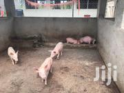 Piglets | Livestock & Poultry for sale in Eastern Region, Bugiri