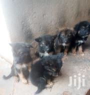 German Shepherd Dog Puppies | Dogs & Puppies for sale in Central Region, Kampala