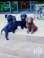 Young Male Mixed Breed Labrador Retriever | Dogs & Puppies for sale in Central Region, Kampala