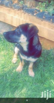 Senior Male Mixed Breed Dachshund | Dogs & Puppies for sale in Central Region, Kampala