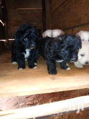 Puppies Female Purebred Maltese | Dogs & Puppies for sale in Central Region, Kampala