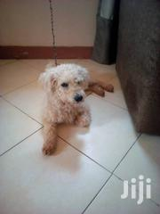 Adult Male Purebred Poodle | Dogs & Puppies for sale in Central Region, Kampala