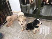 Adult Female Mixed Breed   Dogs & Puppies for sale in Central Region, Kampala