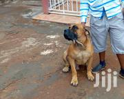 Adult Male Purebred Boerboel | Dogs & Puppies for sale in Central Region, Kampala