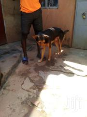 Adult Male Mixed Breed German Shepherd Dog | Dogs & Puppies for sale in Central Region, Kampala