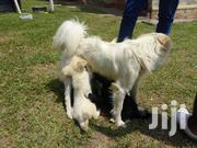 Baby Male Purebred   Dogs & Puppies for sale in Central Region, Kampala