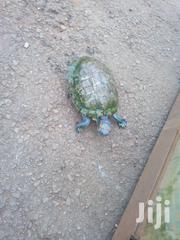 Red Slider Turtles | Reptiles for sale in Central Region, Kampala