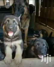 Shepherd Puppies For Security | Dogs & Puppies for sale in Central Region, Kampala