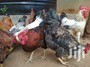 Kuroiler Chicken | Livestock & Poultry for sale in Central Region, Kampala